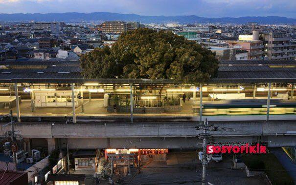 700 Yıllık Ağacı Kesmeden Tren İstasyonu Yaptılar