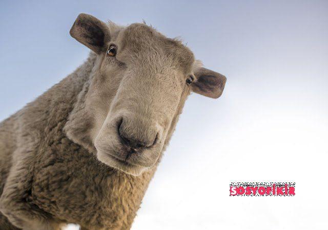 sheep 1822137 5879ebb2d1f03  880 Kopya