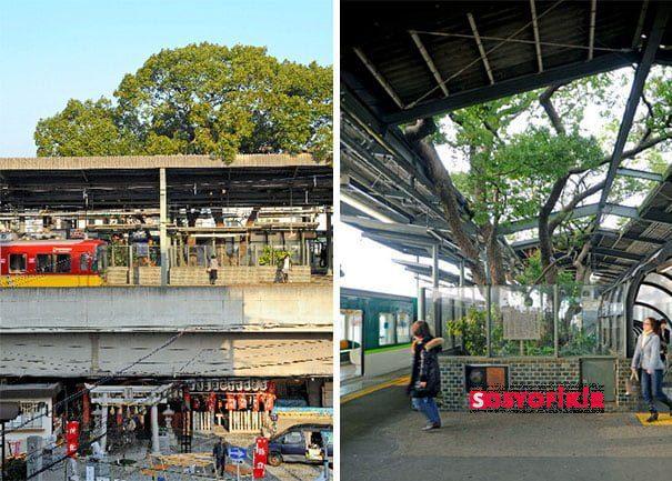 train station 700 year old tree kayashima japan 1