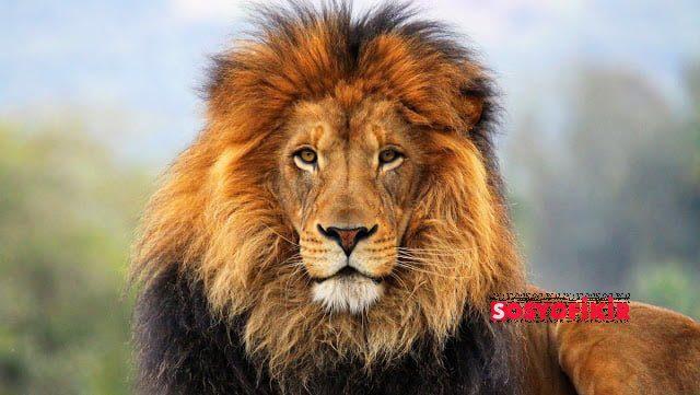 heybetli aslan